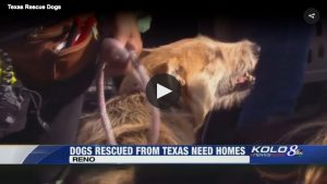 Dogs from Texas looking for forever homes in Reno