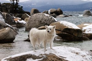 Echo the Therapy Dog at Lake Tahoe