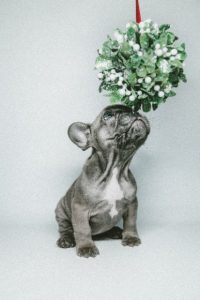 Mistletoe pup